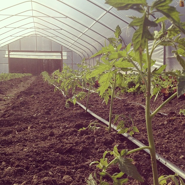 tomatoes in tunnel