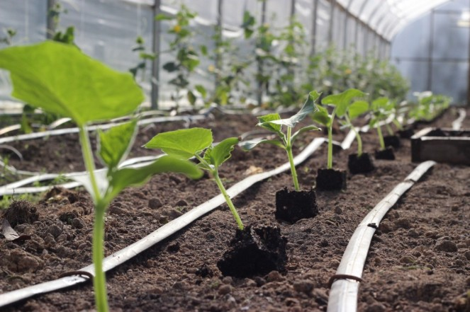 cucumber plants high tunnel