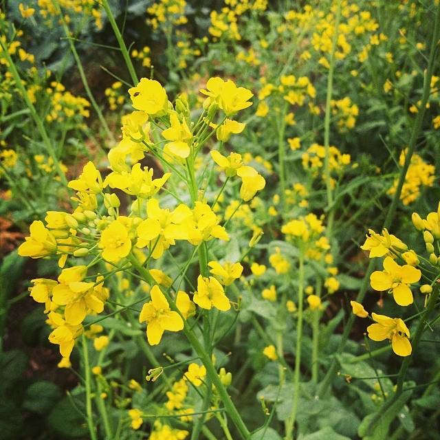 yukina flower