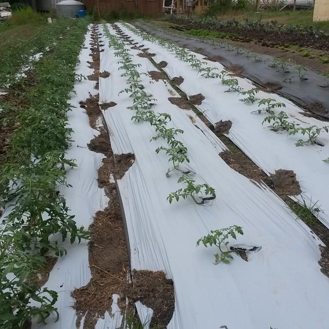 tomato plants in field