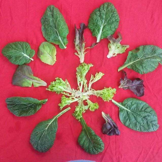 lettuce leaf mandala