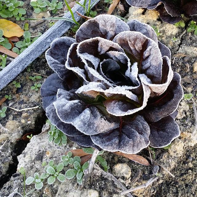 lettuce frost 2014-11-03