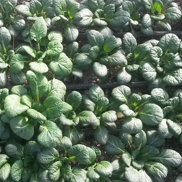 high tunnel yukina asian spinach