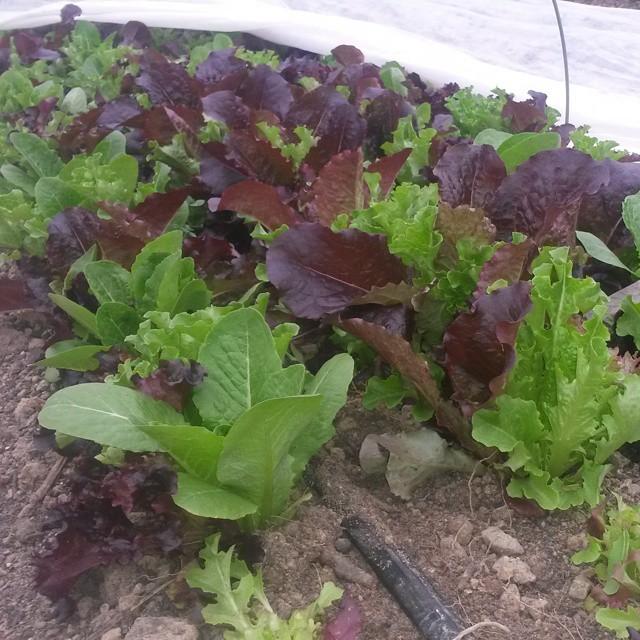 tunnel salad mix
