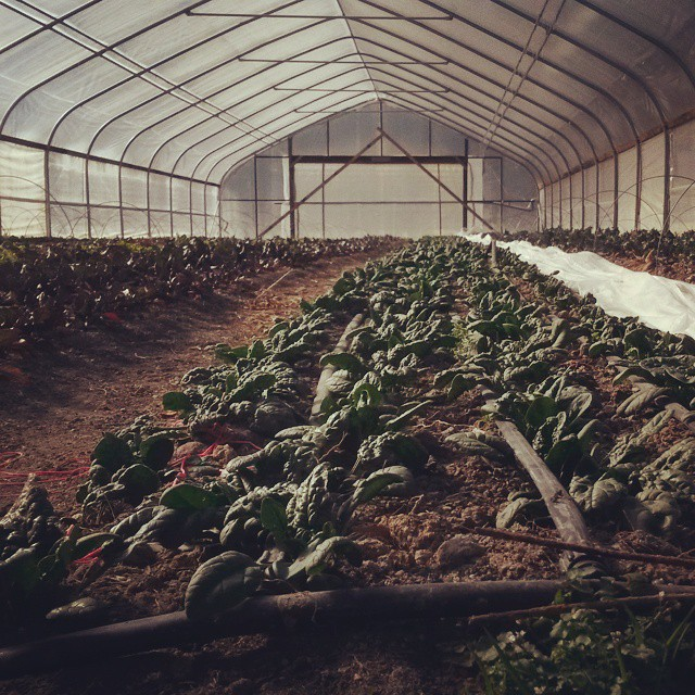 tunnel spinach