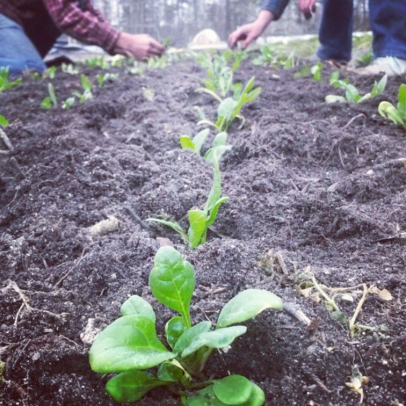 spinach planting