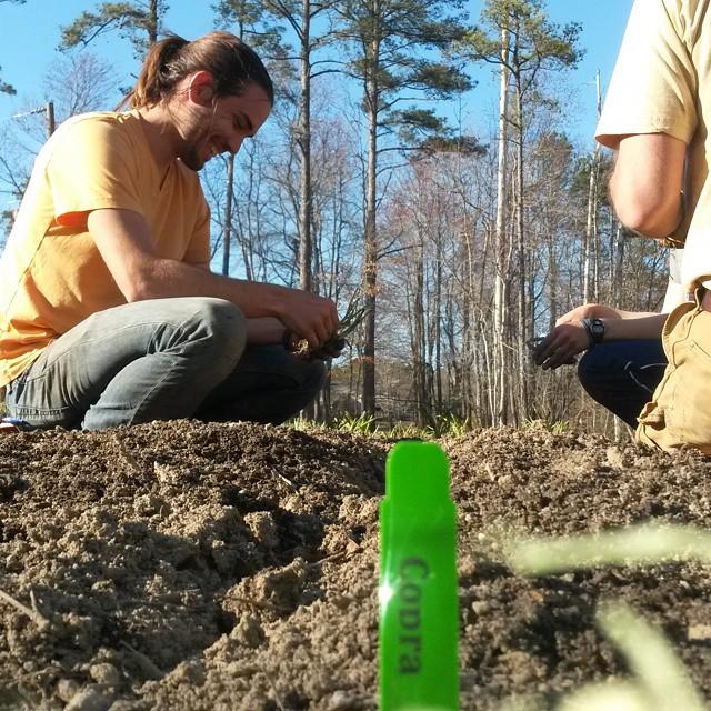 copra planting