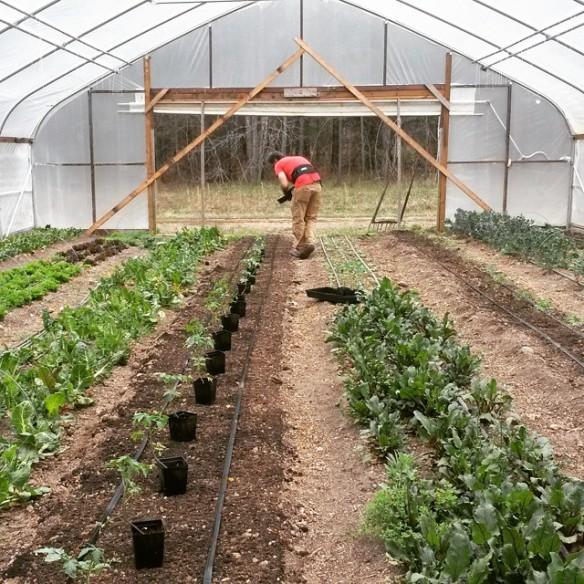 Dan high tunnel tomatoes