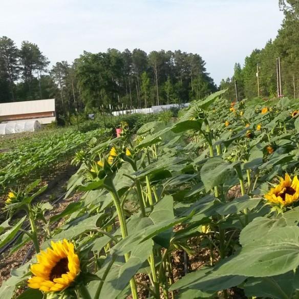 sunflowers barn