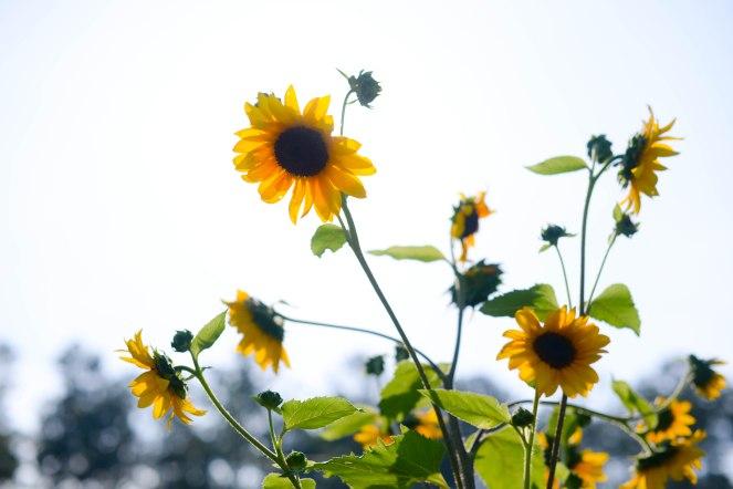 sunflowers sky