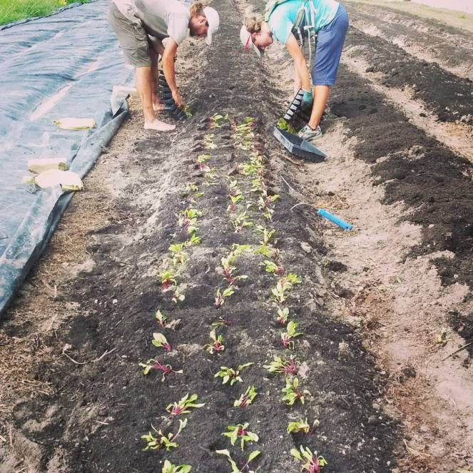 planting beets