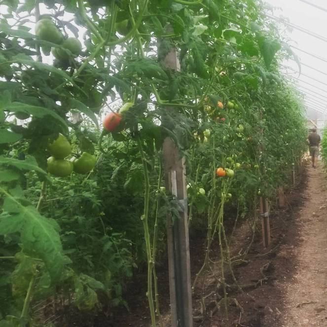 high tunnel pruned tomatoes