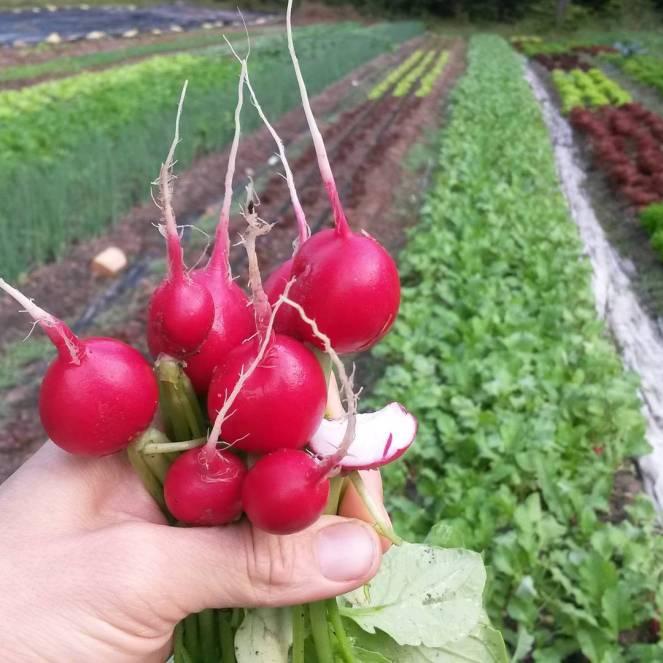 radishes bite