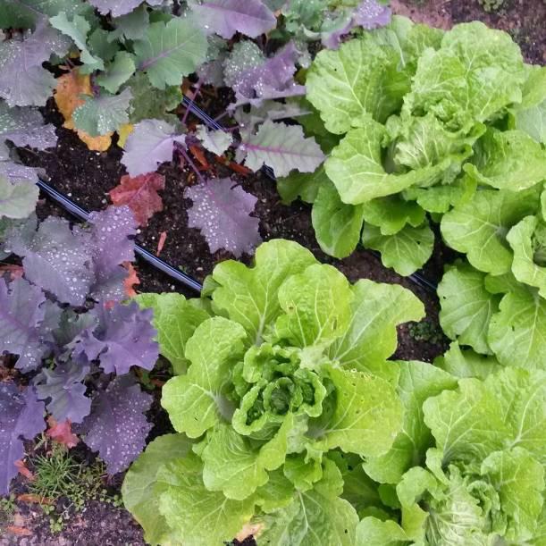 kohlrabi napa cabbage