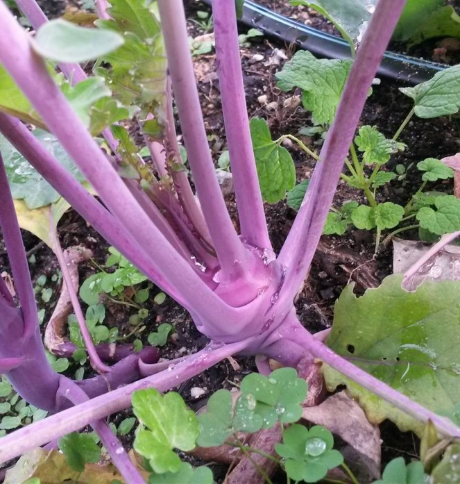 kohlrabi purple growing