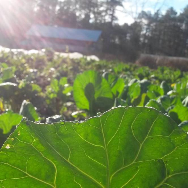 collards dew sunrise
