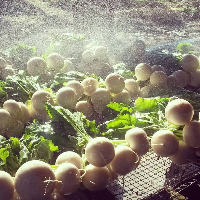 turnips washing