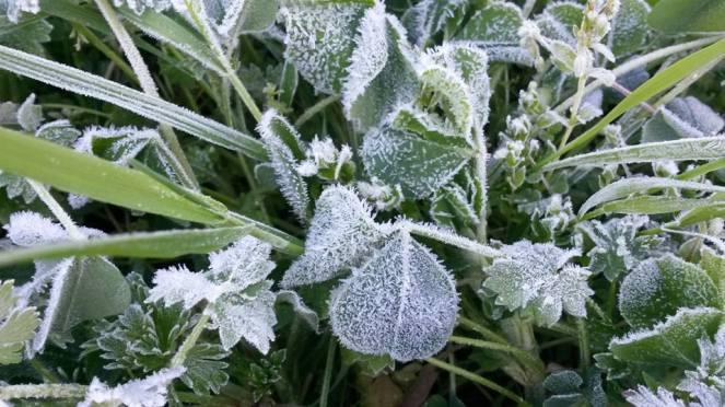 frosty clover