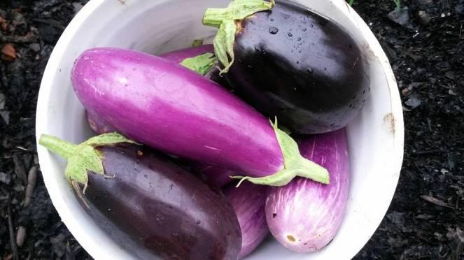 eggplant bucket