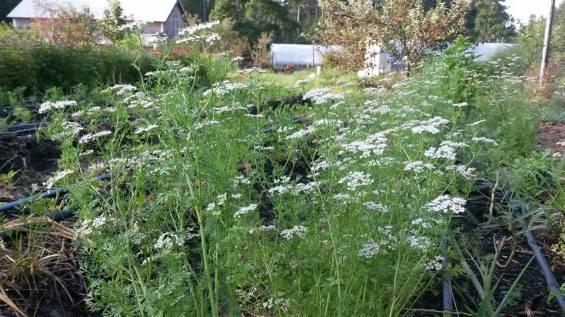flowering cilantro coriander