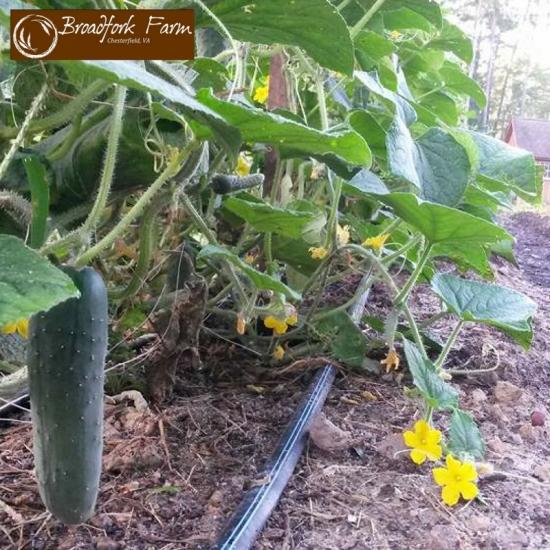 2016-08-11 cucumber