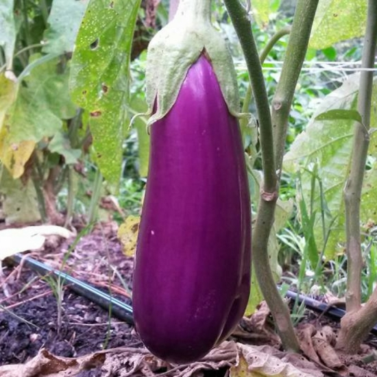 eggplant dancer s