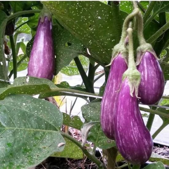 eggplant fairy tale s
