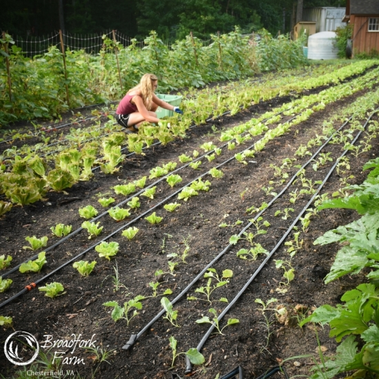 square lettuce picking