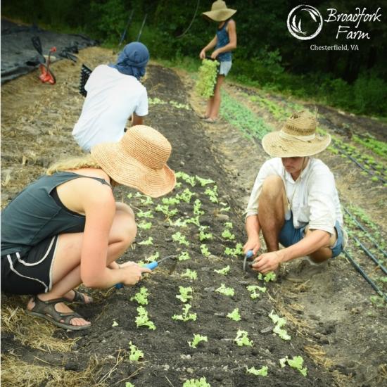 square lettuce planting crew