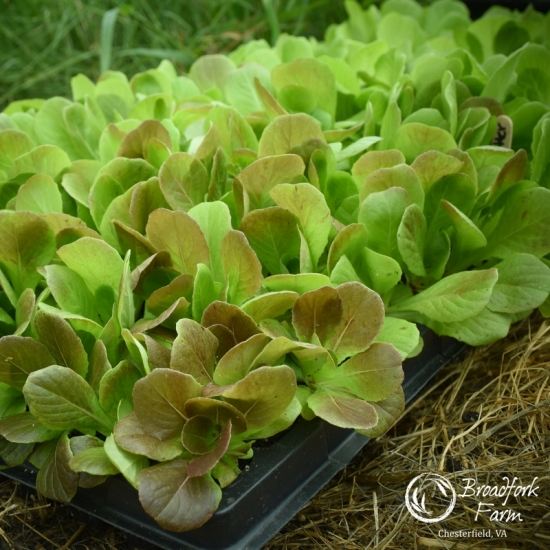 square lettuce tray