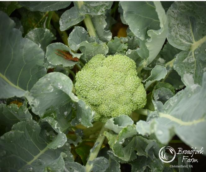 web-broccoli