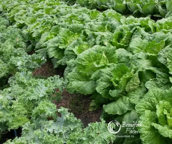 web-cabbage-rows