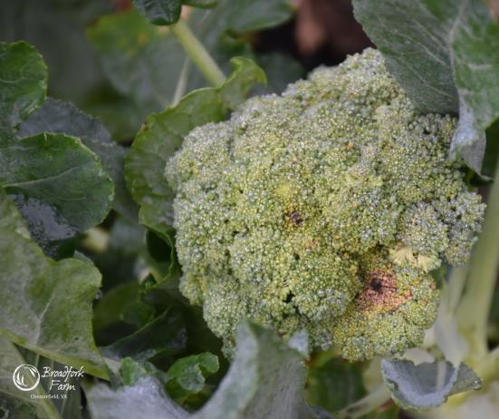 web-broccoli-best