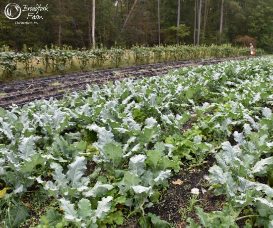 web-broccoli-picking-okra