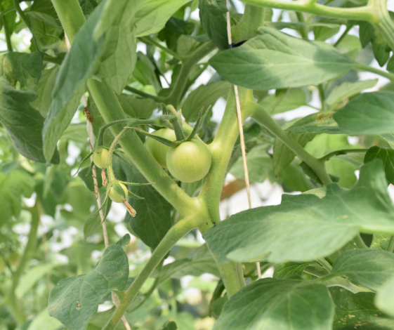 web growing tomato