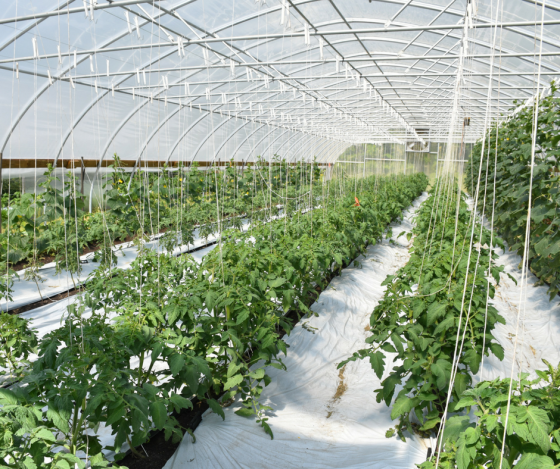 web tomato tunnel